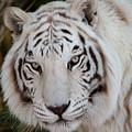 White Tiger Portrait by Teresa Wilson