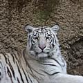 White Tiger Resting by Douglas Barnett