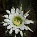 White Torch Cactus  by Saija  Lehtonen