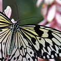 White Tree Nymph Butterfly Closeup by Sue Harper