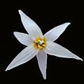 White Trout Lily by Dennis Buckman