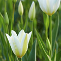 White Tulip by Garden Gate magazine