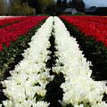 White Tulip Rows by Mia DeBolt