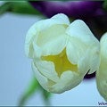 White Tulip by Wendy Fox