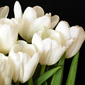White Tulips 1 by Jessica Velasco
