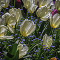 White Tulips In The Garden by Garry Gay