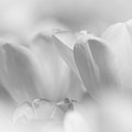 White Tulips by Mark Chandler