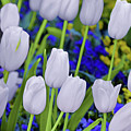 White Tulips by Steven Michael