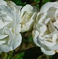 White Twin Flowers by Gregory Farmer