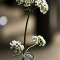 White Valerian by Teresa Mucha