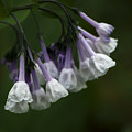 White Virginia Bluebells by Andrea Silies