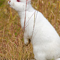 White Wabbit by Randall Ingalls