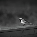 White Wagtail 1 In Bw by Jouko Lehto