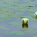 White Water Lilies by Wendy Yee