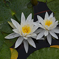 White Water Lilies by Whispering Peaks Photography