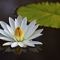 White Water Lilly by Art Cole