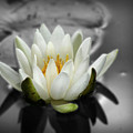 White Water Lily Black And White by Smilin Eyes  Treasures