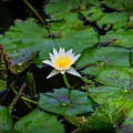 White Water Lily by Garry Gay