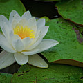 White Water Lily by Ina Kratzsch