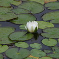 White Water Lily by Janice Keener