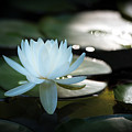 White Water Lily by Jeff Partridge