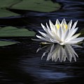 White Water Lily by Sabrina L Ryan