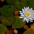 White Water Lily by Venetta Archer