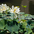 White Waterlilies by Mark Wiley