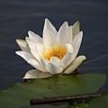 White Waterlily 1 by Jouko Lehto