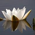 White Waterlily 2 by Jouko Lehto