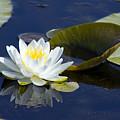White Waterlily by Teresa Zieba