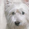 White West Highland Terrier Westie by JG Keevil