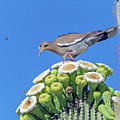 White-wiged Dove On Saguaro Blooms 9887-050918-1cr by Tam Ryan