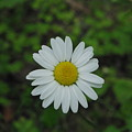 White Wild Flower  by Alice Markham