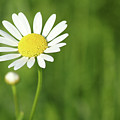 White Wild Flower Spring Scene by Goce Risteski