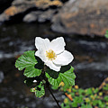 White Wild Rose In Big Thompson Canyon by Robert Meyers-Lussier