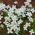 White Wildflowers by Barbara S Nickerson