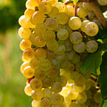 White Wine Grapes by Teri Virbickis
