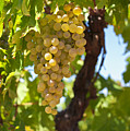 White Wine Grapes  by U Schade