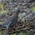 White Winged Dove by Bob Marquis
