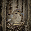 White-winged Dove - Nesting by Nikolyn McDonald