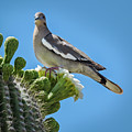 White Winged Dove On Cactus Flower by Penny Lisowski