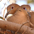 White-winged Doves In Lovebird Pose by Max Allen