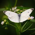White Wings Of Wonder by Kerri Farley