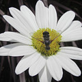 White With Bee by Donna Brown