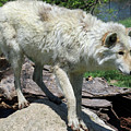 White Wolf 1 by Steve Gass