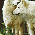 White Wolf Pair by Steve Somerville