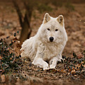 White Wolf by Sandy Keeton