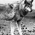 White Wolf Z by Amitabh Dayal