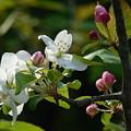 White Woodland Crabapple Flowers by Rowena Throckmorton